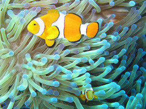 512px-Common_clownfish