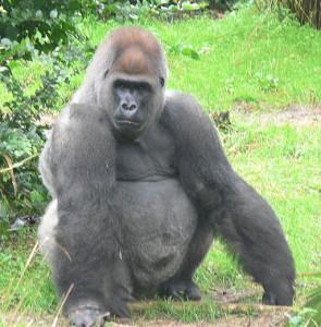 512px-Male_silverback_Gorilla