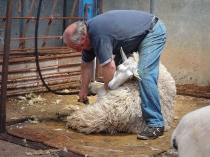1024px-Sheep_shearing_by_Magic_Foundry